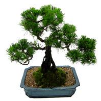 해송소나무(명품분재)